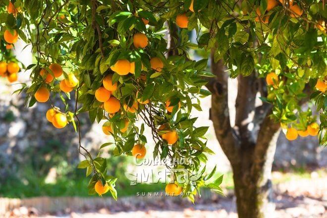 Апельсины растут на деревьях