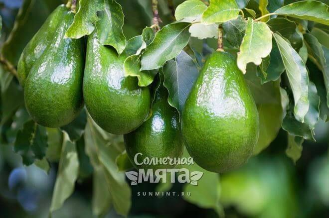 Авокадо растет на дереве