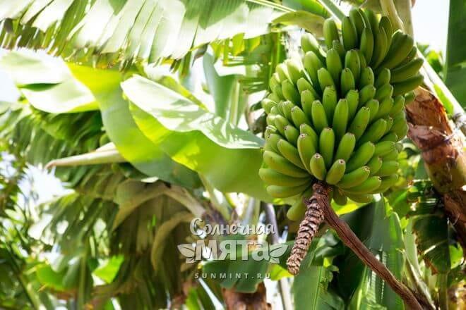 Банан растет как трава с толстыми травинками