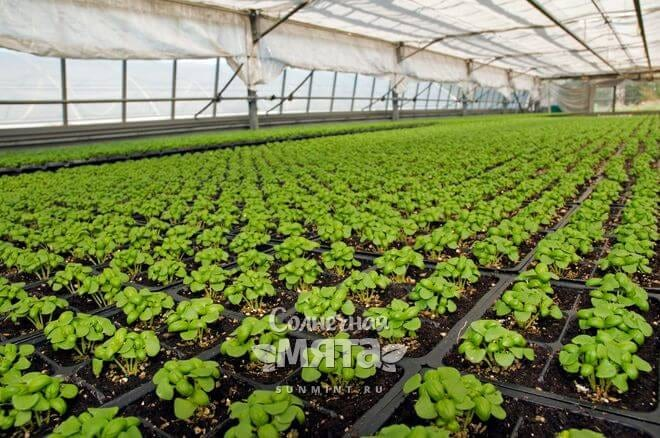 Базилик можно выращивать в теплице и на открытом грунте
