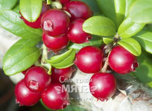 Брусника ягода молодости, процветания и бессмертия