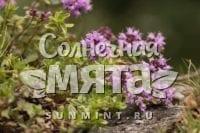 Чабрец Thymus collinus
