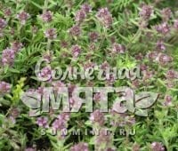 Чабрец Thymus markhotensis