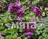 Чабрец Thymus nummularius