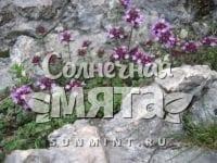 Чабрец Thymus praecox