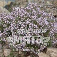 Чабрец Thymus vulgaris