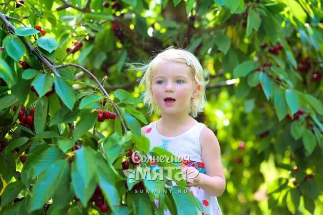 Черешня растет на деревьях