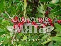 Фисташка Pistacia lentiscus