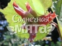 Фундук Corylus maxima