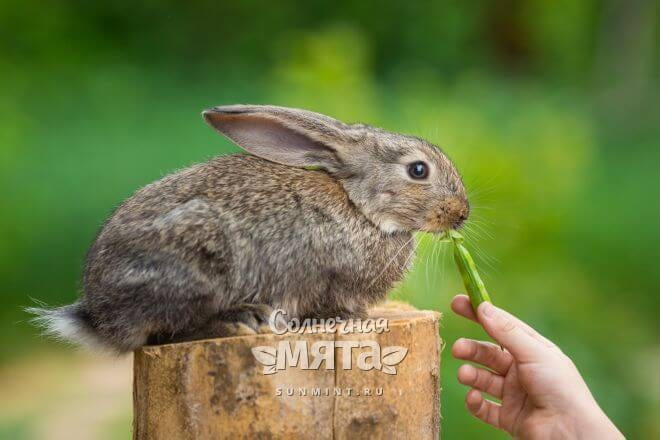 Горохом можно кормить домашних кроликов