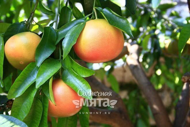 Грейпфруты растут на деревьях