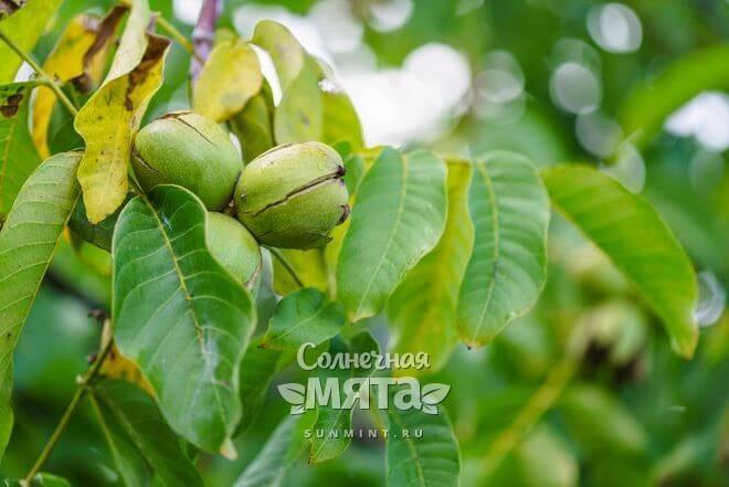 Грецкие орехи растут на деревьях