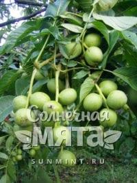 Грецкий орех Заря Востока