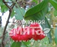Гвоздика Syzygium aqueum