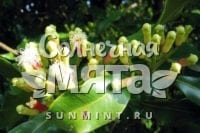 Гвоздика Syzygium aromaticum