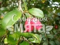 Гвоздика Syzygium australe