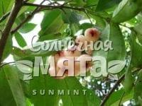 Гвоздика Syzygium jambos