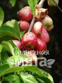Гвоздика Syzygium malaccense