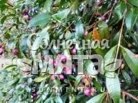 Гвоздика Syzygium paniculatum