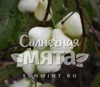 Гвоздика Syzygium samarangense