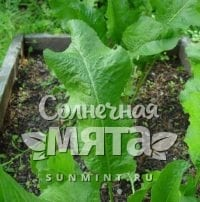 Хрен Armoracia rusticana