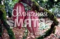 Какао Amazonian Forastero