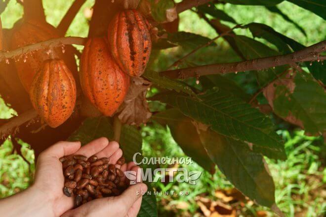 Какао растет на деревьях