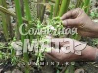 Кардамон Elettaria cardamomum