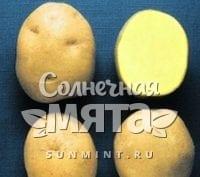 Картофель Явар