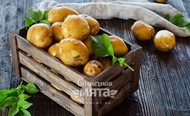 Картофель «дьявольское яблоко» или «второй хлеб»