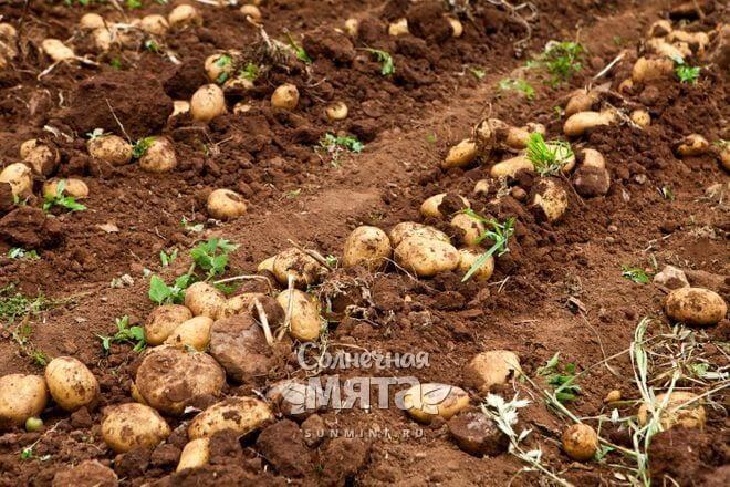 Картофель растет в земле