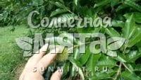 Каштан Castanea mollissima