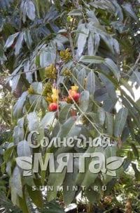 Каштан Castanospermum austrále