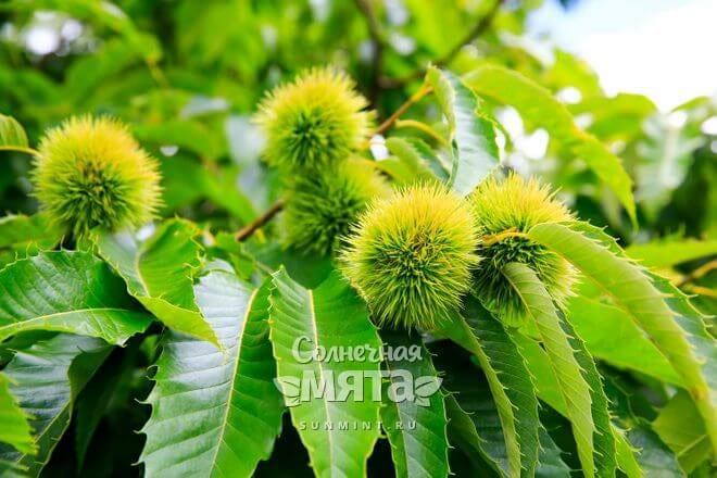 Каштаны растут на деревьях