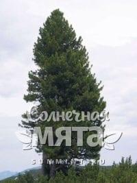 Кедр Pinus cembra