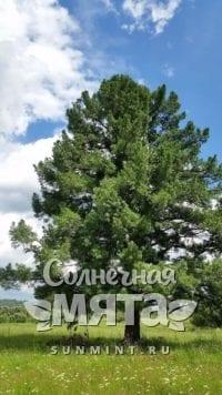 Кедр Pinus sibirica