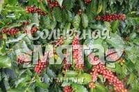 Кофе Caturra