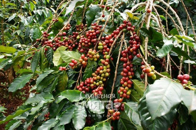 Кофе растет на деревьях