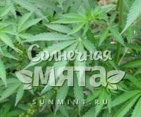 Конопля Cannabis indica