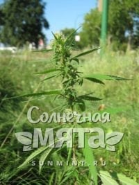 Конопля Cannabis ruderalis