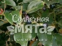 Корица Cinnamomum aggregatum