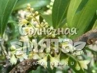 Корица Cinnamоmum aromаticum