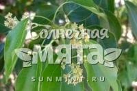 Корица Cinnamomum camphora
