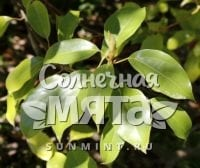 Корица Cinnamomum glanduliferum