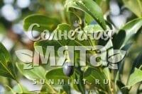 Корица Cinnamomum japonicum