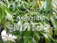 Корица Cinnamomum loureiroi