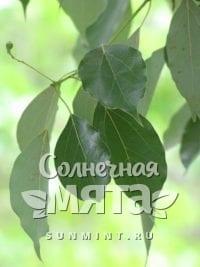 Корица Cinnamomum sericeum