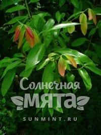 Корица Cinnamomum verum