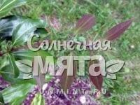 Корица Cinnamomum wilsonii
