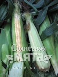 Кукуруза Zea mays amylacea